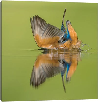 Kingfisher Looking For Fish Canvas Art Print