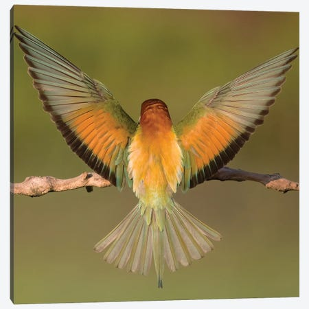Beeeater Colorful Back Canvas Print #PSM4} by Pascal De Munck Canvas Print