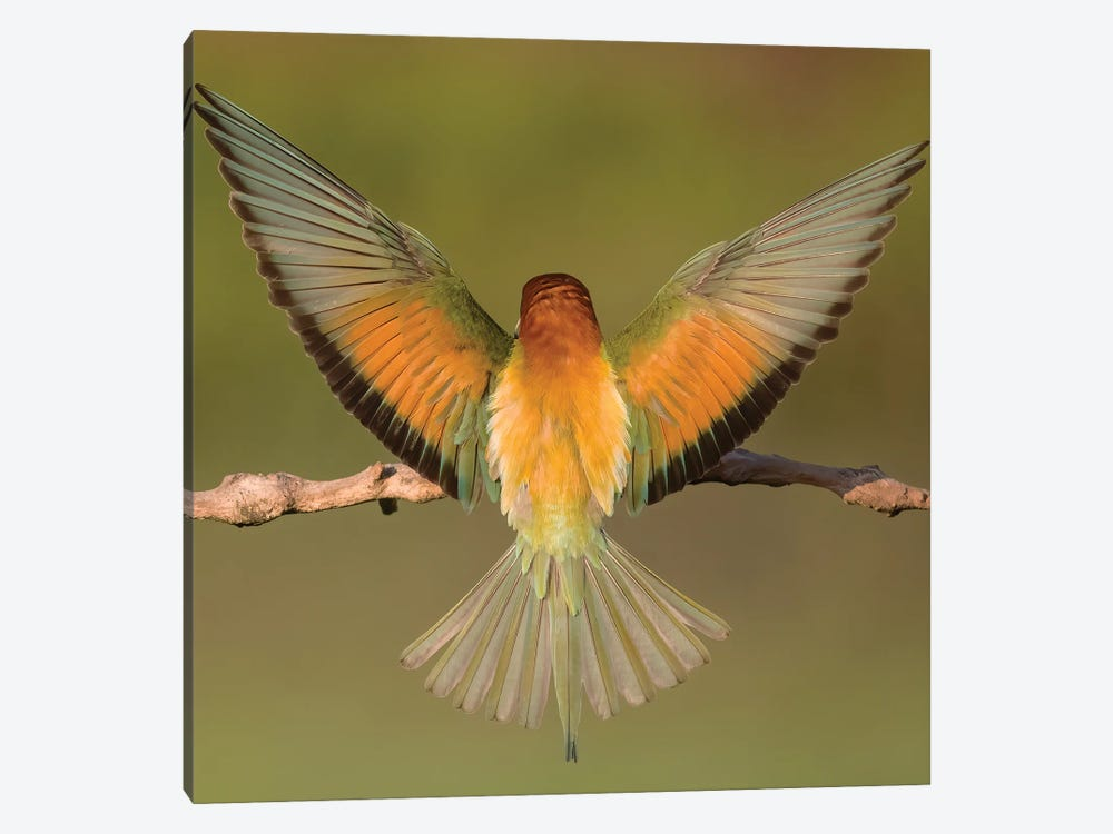 Beeeater Colorful Back by Pascal De Munck 1-piece Canvas Art Print
