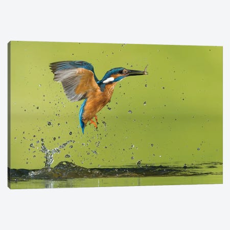 Kingfisher Catching A Fish Canvas Print #PSM50} by Pascal De Munck Canvas Art