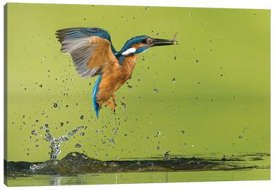 Kingfisher Catching A Fish Canvas Art Print
