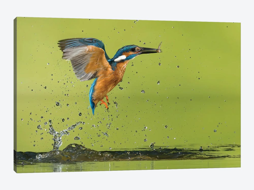 Kingfisher Catching A Fish by Pascal De Munck 1-piece Canvas Art