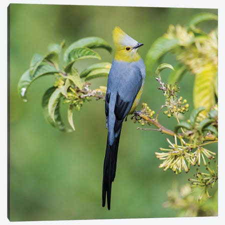 Long Tailed Silky Flycatcher Showing Off Canvas Print #PSM54} by Pascal De Munck Art Print