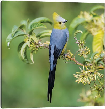 Long Tailed Silky Flycatcher Showing Off Canvas Art Print