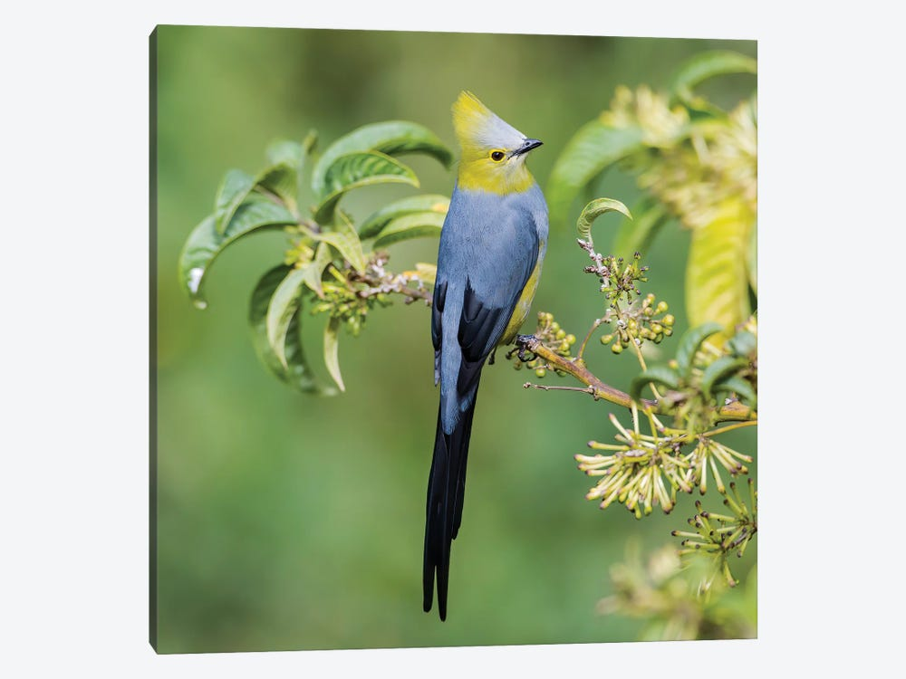 Long Tailed Silky Flycatcher Showing Off by Pascal De Munck 1-piece Canvas Artwork