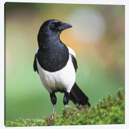 Magpie In Perfect Light Canvas Print #PSM55} by Pascal De Munck Canvas Print