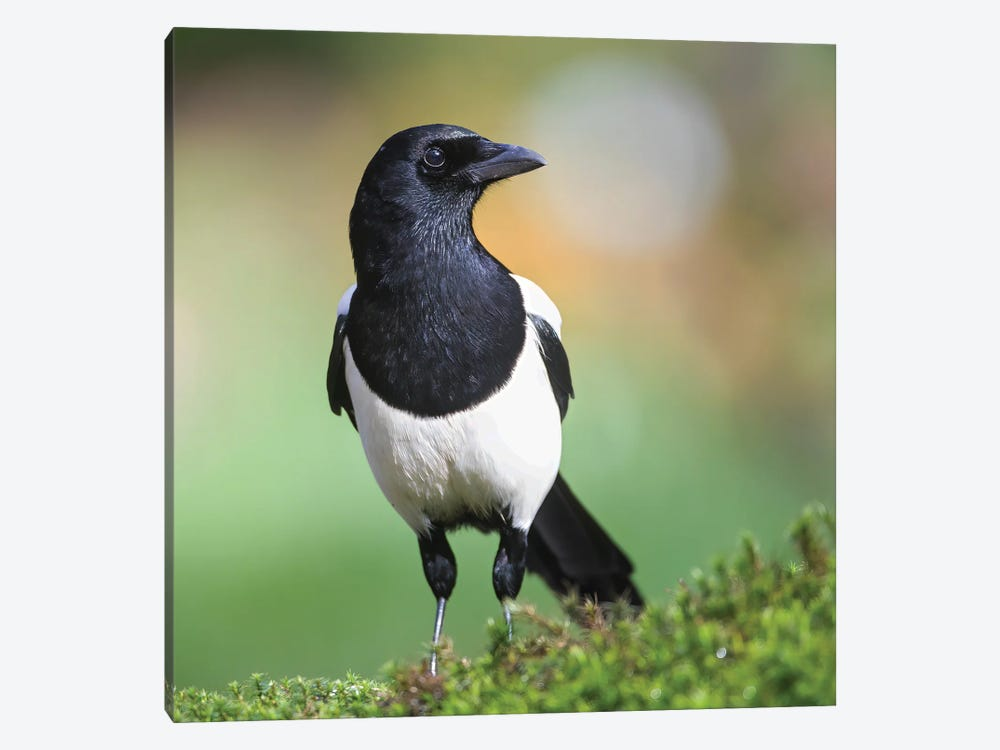 Magpie In Perfect Light by Pascal De Munck 1-piece Canvas Print