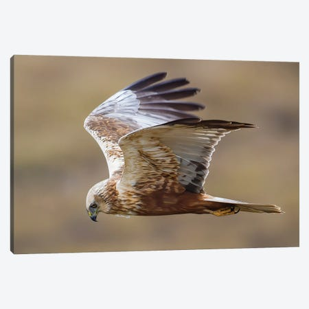 Marsh Harrier Flying By Canvas Print #PSM56} by Pascal De Munck Art Print
