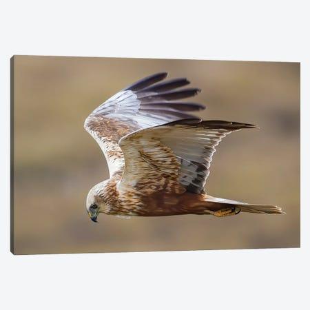 Marsh Harrier Flying By Canvas Print #PSM56} by Pascal De Munck Art Print