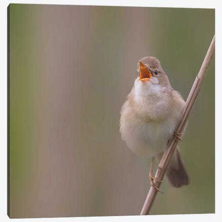 Marsh Warbler Singing Out Loud Canvas Print #PSM57} by Pascal De Munck Art Print