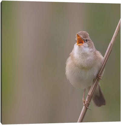 Marsh Warbler Singing Out Loud Canvas Art Print