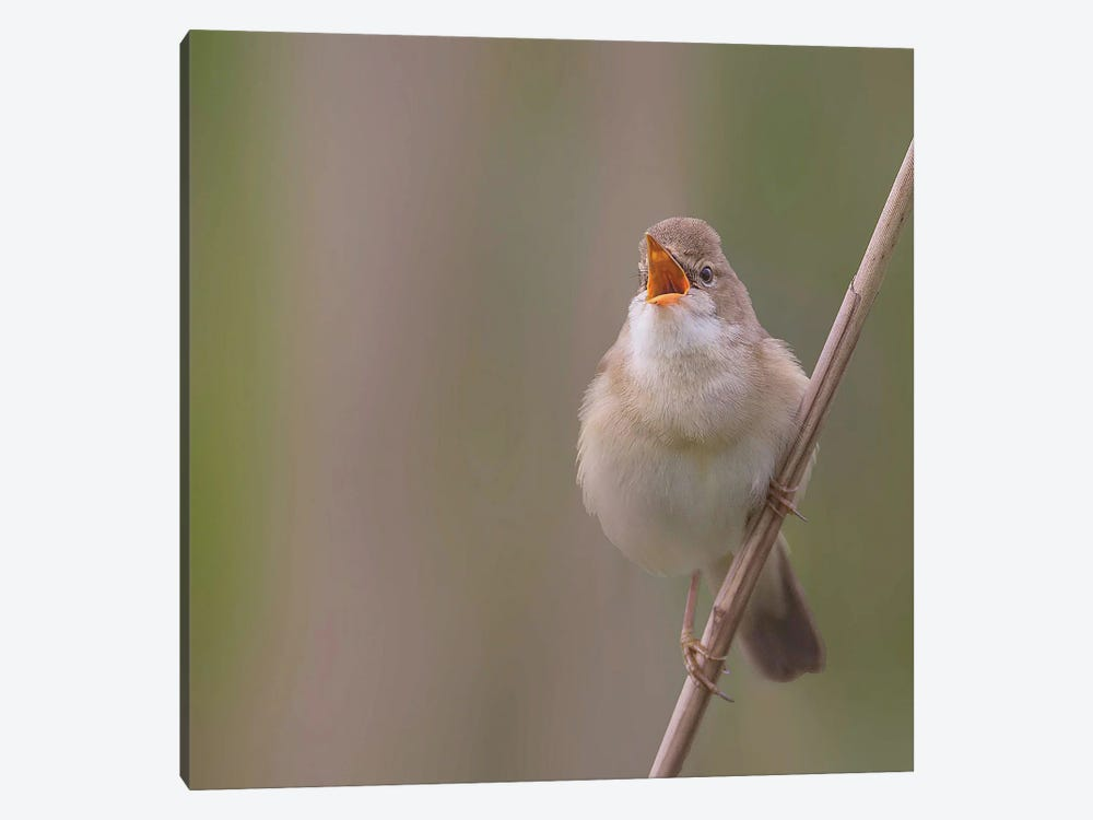 Marsh Warbler Singing Out Loud by Pascal De Munck 1-piece Art Print
