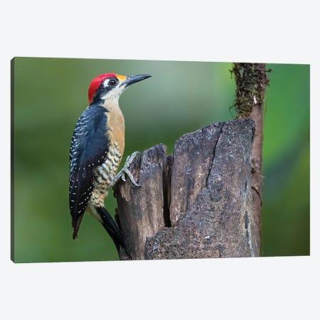 Black Cheecked Woodpecker Resting Canvas Print #PSM5} by Pascal De Munck Art Print