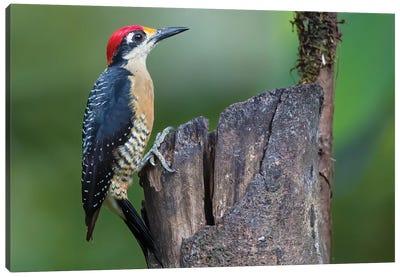 Black Cheecked Woodpecker Resting Canvas Art Print