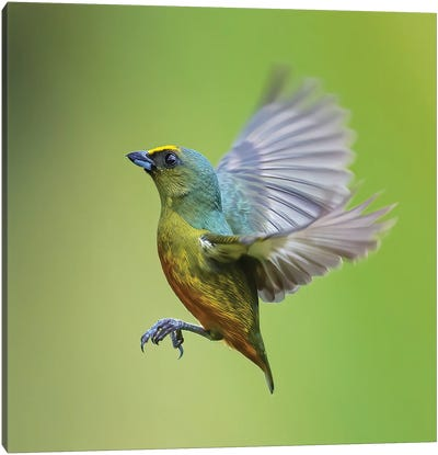Olive Backed Euphonia Flying Canvas Art Print