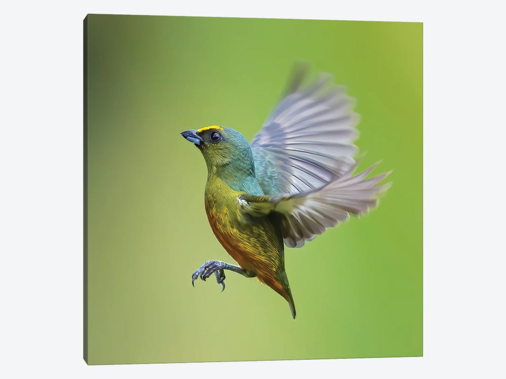 Olive Backed Euphonia Flying by Pascal De Munck 1-piece Art Print