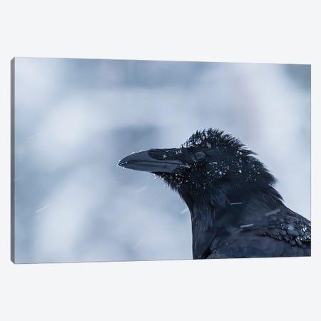 Raven Portrait In The Snow Canvas Print #PSM61} by Pascal De Munck Canvas Print