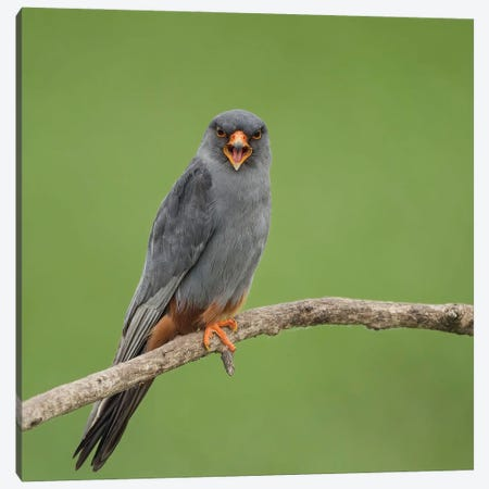 Red Footed Falcon Screaming Canvas Print #PSM62} by Pascal De Munck Art Print