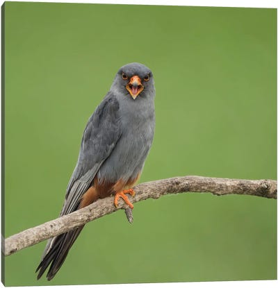 Red Footed Falcon Screaming Canvas Art Print