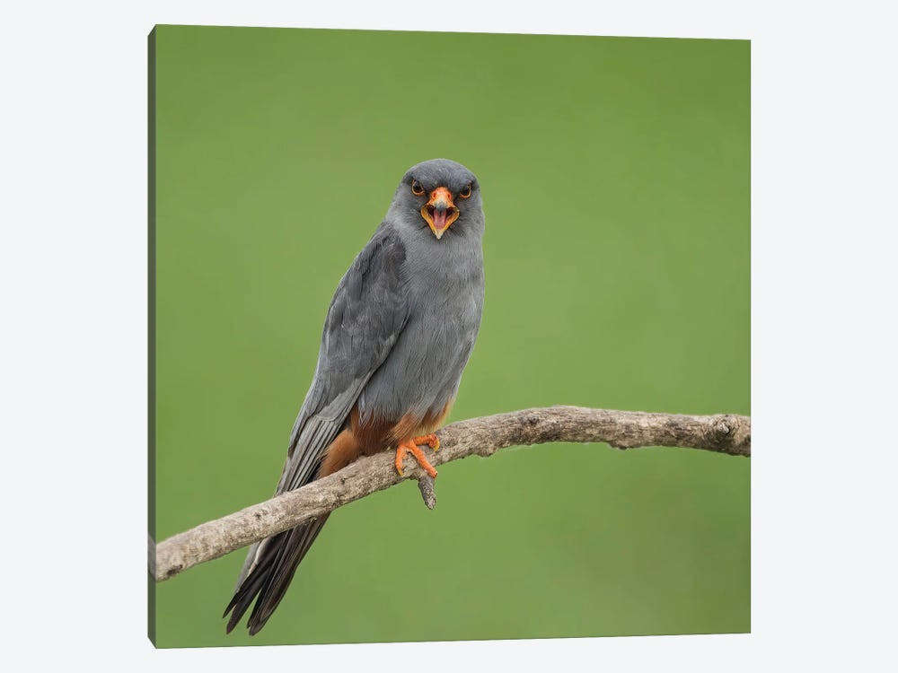 Red Footed Falcon Screaming by Pascal De Munck 1-piece Art Print