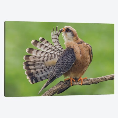 Red Footed Falcon Showing Tail Canvas Print #PSM63} by Pascal De Munck Canvas Print