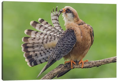 Red Footed Falcon Showing Tail Canvas Art Print