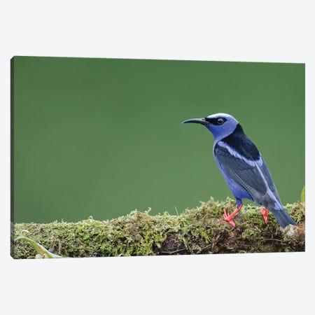 Red Legged Honeycreeper In Green Canvas Print #PSM64} by Pascal De Munck Canvas Wall Art