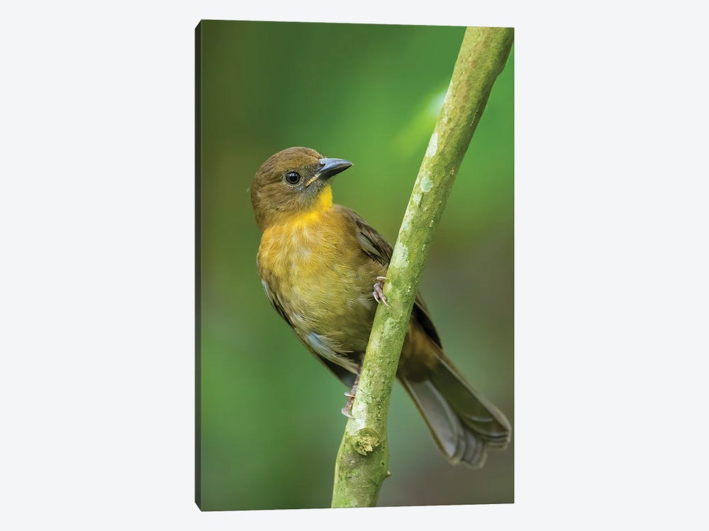 Red Throated Ant Tanager In Green by Pascal De Munck 1-piece Canvas Wall Art