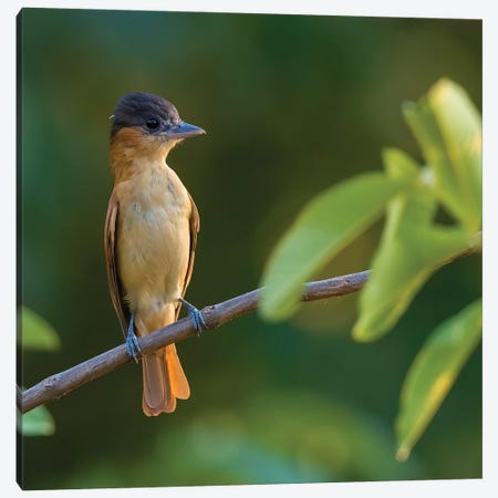 Rose Throated Becard On Branch Canvas Print #PSM68} by Pascal De Munck Art Print