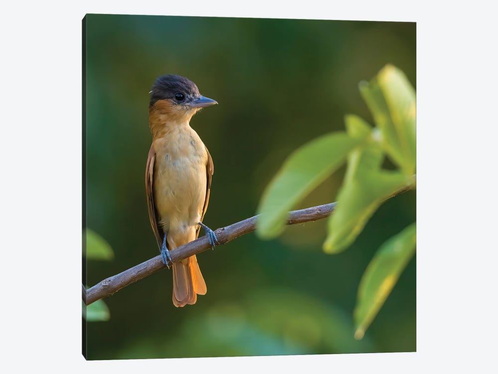 Rose Throated Becard On Branch by Pascal De Munck 1-piece Canvas Print