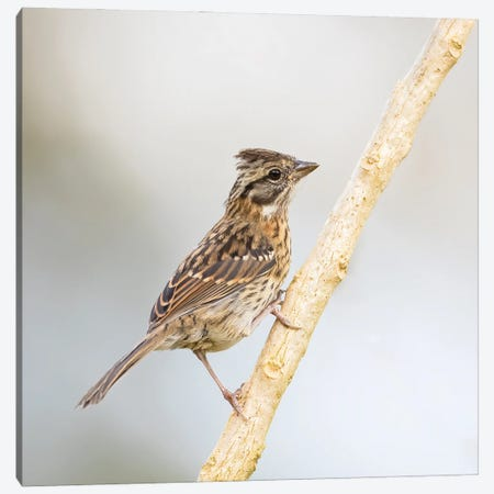 Rufous Collared Sparrow On Branch Canvas Print #PSM69} by Pascal De Munck Art Print