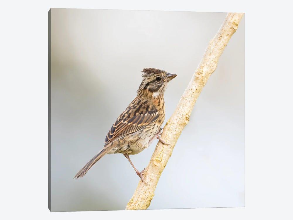 Rufous Collared Sparrow On Branch by Pascal De Munck 1-piece Canvas Art