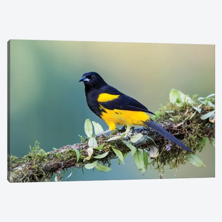 Black Cowled Oriole Looking In Camera Canvas Print #PSM6} by Pascal De Munck Art Print
