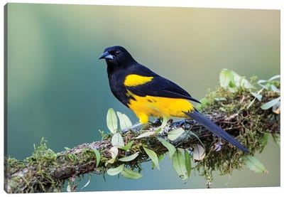 Black Cowled Oriole Looking In Camera Canvas Art Print