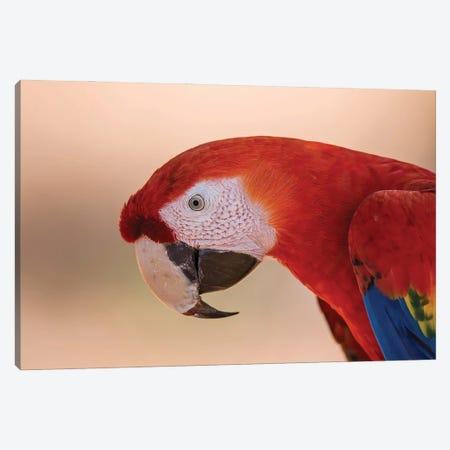 Scarlet Macaw Portrait Canvas Print #PSM70} by Pascal De Munck Canvas Artwork