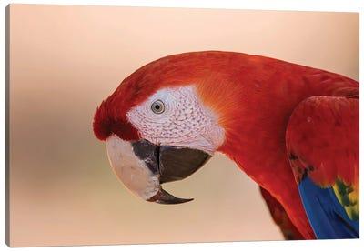 Scarlet Macaw Portrait Canvas Art Print