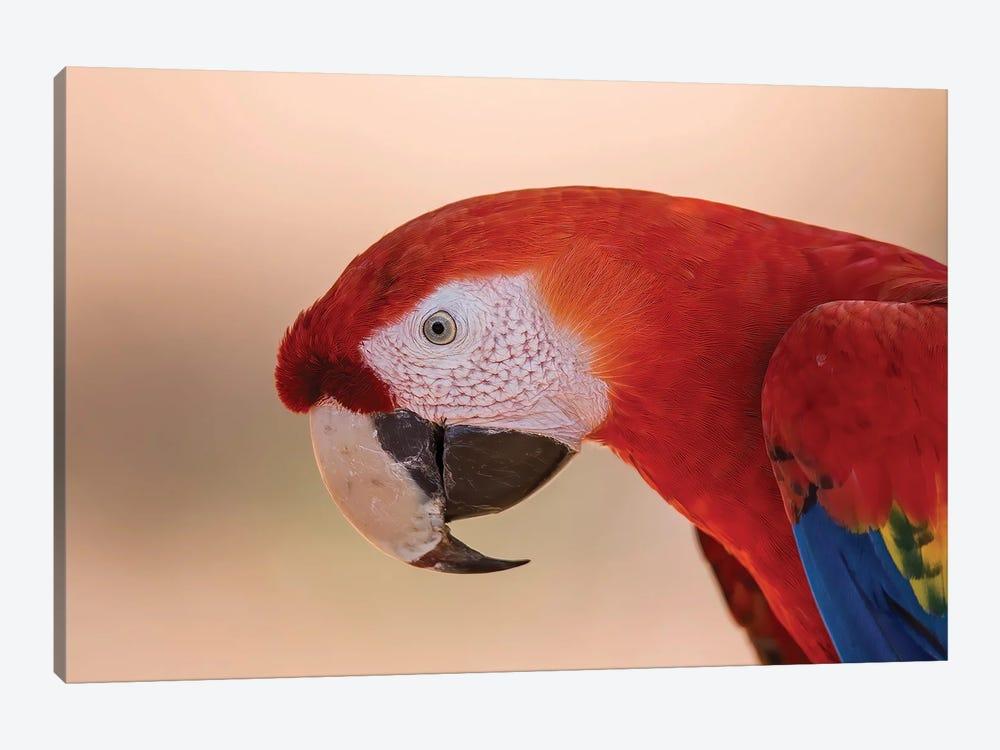 Scarlet Macaw Portrait by Pascal De Munck 1-piece Canvas Art