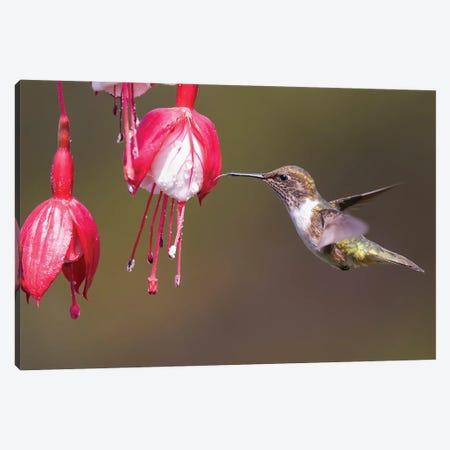 Scintilliant Hummingbird Drinking Canvas Print #PSM71} by Pascal De Munck Canvas Art