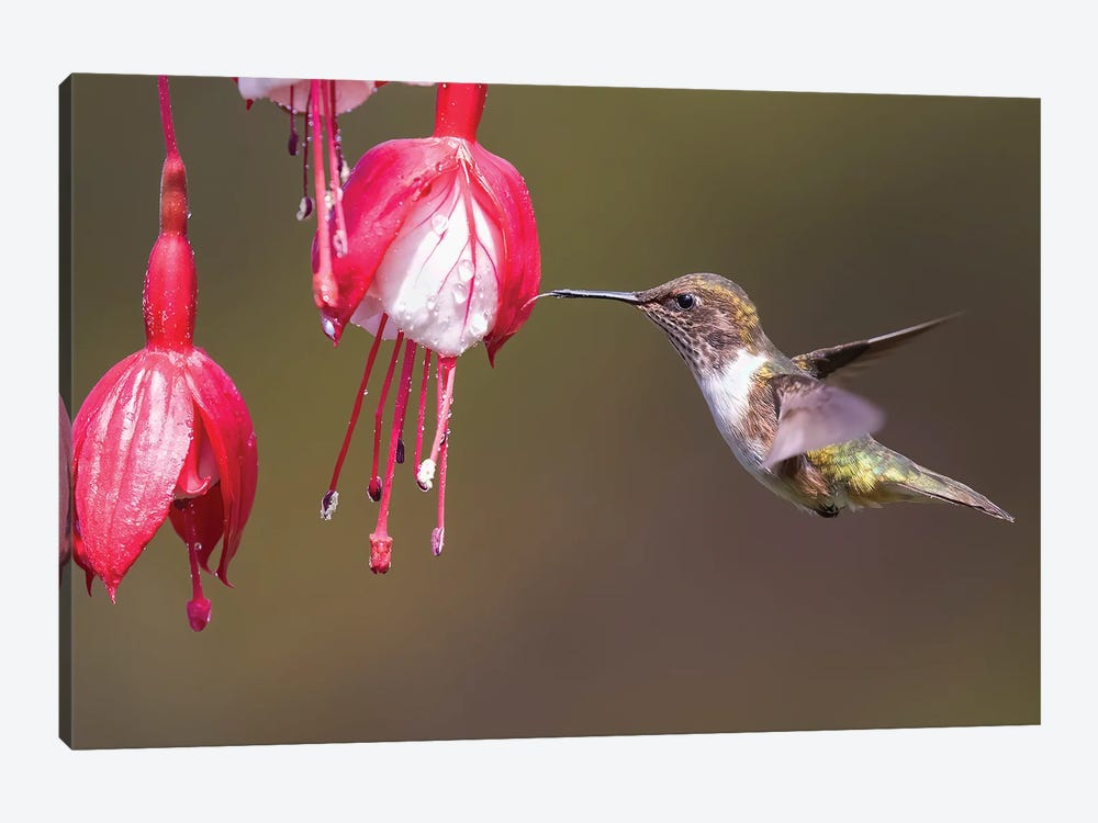Scintilliant Hummingbird Drinking by Pascal De Munck 1-piece Canvas Art Print