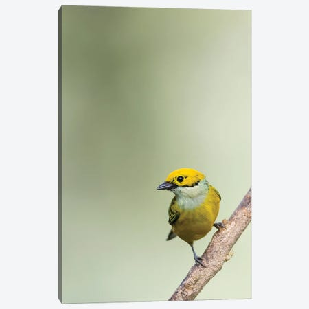 Silverthroated Tanager On A Branch Canvas Print #PSM73} by Pascal De Munck Canvas Art