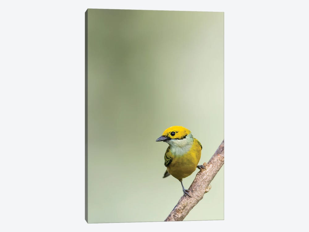 Silverthroated Tanager On A Branch by Pascal De Munck 1-piece Canvas Print