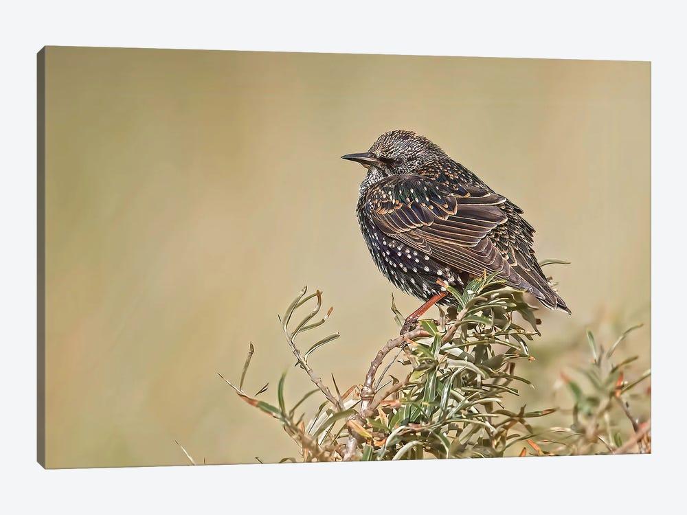 Starling On Top Of A Bush by Pascal De Munck 1-piece Art Print