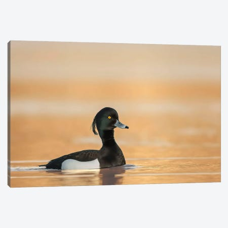 Tufted Duck In Sunrise Canvas Print #PSM80} by Pascal De Munck Art Print