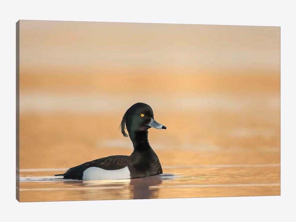 Tufted Duck In Sunrise by Pascal De Munck 1-piece Art Print
