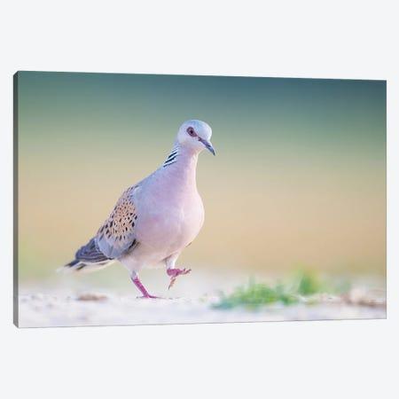 Turtle Dove In Soft Light Canvas Print #PSM81} by Pascal De Munck Art Print