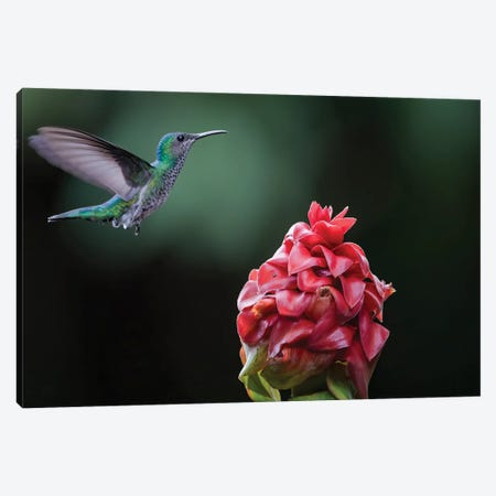 White Necked Jacobin Coming To Flower Canvas Print #PSM83} by Pascal De Munck Canvas Art Print