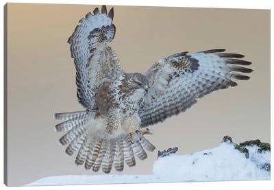 Eurasian Buzzard Landing On A Branch In The Snow Canvas Art Print