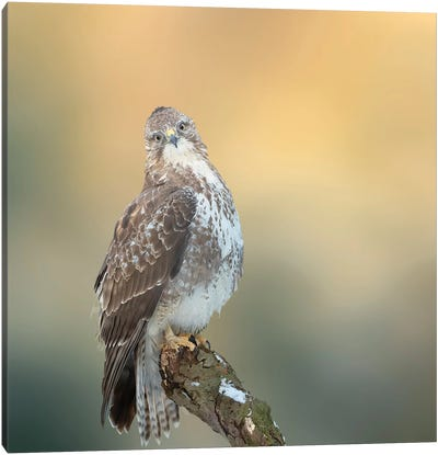 Eurasian Buzzard On A Branch Watching Straight At Me Canvas Art Print