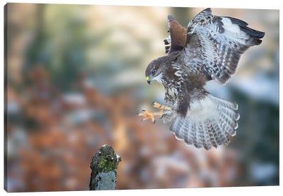 Eurasian Buzzard Landing On A Branch Canvas Art Print