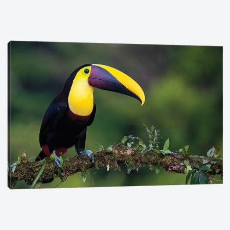Yellow Throated Toucan Posing Canvas Print #PSM8} by Pascal De Munck Canvas Art